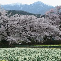 満開のわに塚の桜と山高神代桜2016年春