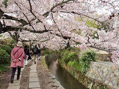 京都東山★川のせせらぎと満開の桜ウォーク