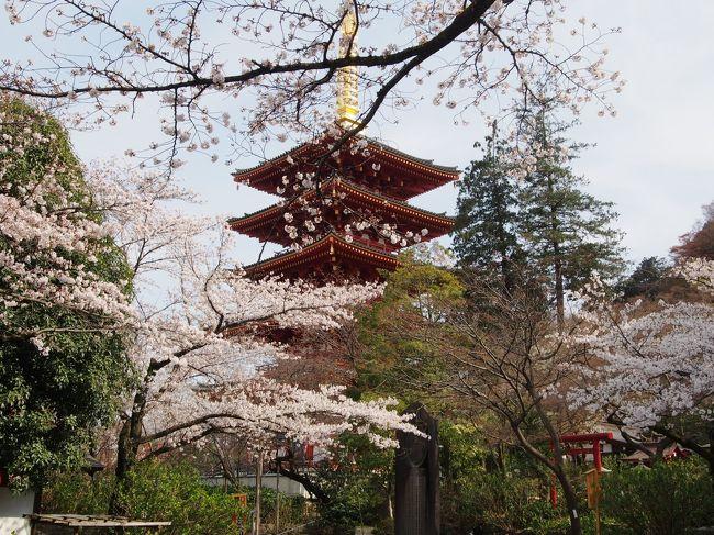 暖冬の影響で早いと言われていた今年の東京の桜・・・<br />しかしながら3月に入り寒さが続いた為か、予報よりも少し遅めの<br />見頃を迎えようとしていた。さて今年はどこにお花見に行こう?<br />東京の桜の満開予報が出ている今週末はお天気が悪そうだし・・・<br /><br />クチコミをチェックすると、各地で咲き具合にずいぶん差が<br />あるようだけど・・・・。まっクチコミは、個人の感想なので、同じ場所でも<br />「ほぼ満開」と書いている人もいれば「6分咲き」と書いている人もいる。<br />・・・シビアに書かれている方が現実に近いのかもしれないな~。<br /><br />桜の名所と言うと全国素敵な名所が沢山あるけれど、東京にも桜が<br />咲き誇る名所は沢山ある。桜の時期の東京は街路樹や川沿いの桜が<br />一斉に咲き誇り、華やかでかなり綺麗だと思う。<br /><br />電車の中から見える景色だってピンク色に一変し、この季節は電車の<br />窓からの景色を見るのも、とっても楽しい♪<br /><br />千鳥ヶ淵・隅田公園・目黒川・上野公園・・・どの名所も桜が満開なら<br />見事な風景になるけれど、平日とは言え人出も多いだろうな。<br />それに4トラにも沢山の旅行記がアップされるだろうし・・・<br /><br />今年はもう少しのんびりとお花見がしたいと思ったので、同じ東京でも<br />「多摩エリア」の名所を訪ねて見ようと思い、ネットチェック。<br />都心に比べたら知名度は少ないけれど・・・人気の「昭和記念公園」や<br />「多摩川沿いの桜」「多摩湖&狭山湖」など桜の名所は沢山ある。<br /><br />中でも「井の頭公園」「小金井公園」は「さくらの名所100選」にも<br />選ばれる「多摩エリア」を代表する桜の名所でもあります。<br />名所の大半は行った事があるけれど、近いのは「小金井公園」かな・・・・。<br /><br />小金井公園の開花状況は・・・「ほぼ満開」「すご~く綺麗」<br />ツイッターのつぶやきも上々。これは小金井公園に決定かな!<br />そんな時に「高幡不動の桜めちゃくちゃ綺麗~」と言うつぶやきを<br />発見してしまう。高幡不動・・・一度行きたいと思っていたんだ。<br /><br />さて・・・どっちの桜を見に行こう???