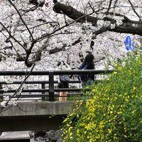二ヶ領用水・渋川の桜散歩 2016(武蔵小杉)