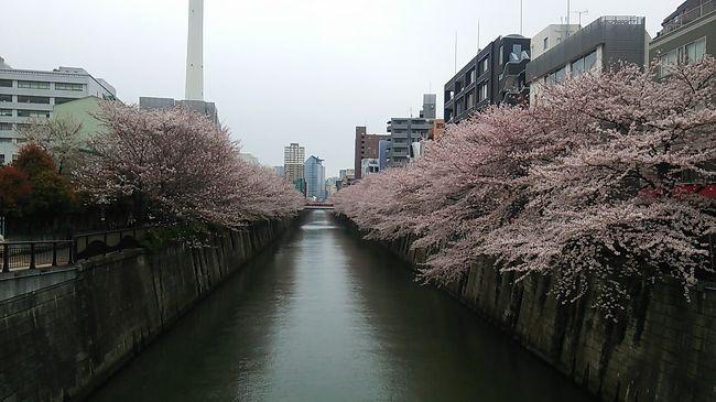 ご覧戴きましてありがとうございます。<br /> 2016年4月2日の土曜日と3日の日曜日の2日間、目黒川の桜、皇居の乾通りの桜、そして7年に1回しか開催されない御柱祭(上社 山出し)を観賞する旅に行ってきました。<br /><br /> 期間中の主な行程は以下のとおりです。<br />4月2日 浜松→JR普通列車→恵比寿駅→徒歩→目黒川の桜散策→中目黒駅→東急東横線・JR山手線→東京駅→皇居乾通りの桜散策→都内散歩→新宿駅→特急あずさ25号に乗車→甲府(泊)<br /><br />4月3日 甲府駅→JR中央線普通列車→茅野駅→御柱祭見物(山出し・川越し)→茅野駅→JR臨時列車御柱祭号→塩尻駅→特急しなの22号に乗車→名古屋駅→JR東海道線新快速・普通列車利用→浜松<br /><br /> そのうち今回は行きの道中と目黒川の桜の観覧の様子を紹介していきたいと思います。<br /><br />