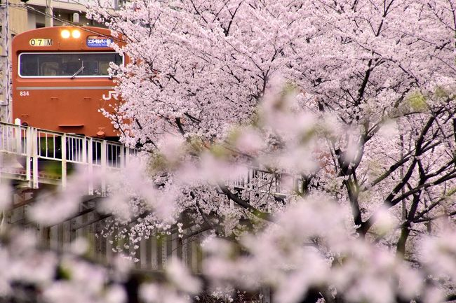 関西の地に未だに現役で運用されている赤色の国鉄型車両103系を追いかけて、満開な桜が咲き広がる桜ノ宮と大阪城に訪れてみました。