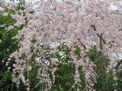 2016春、奈良の桜巡り(7/13):4月3日(7):吉野山(3):枝垂れ桜、山桜、金峯山寺、修理中の仁王門、蔵王堂