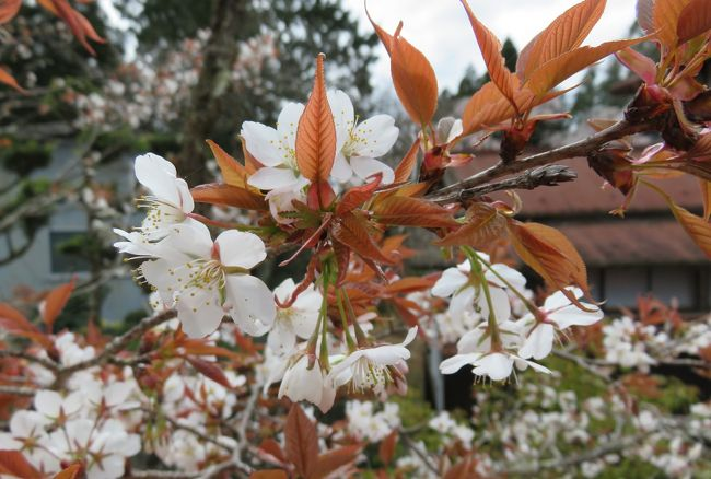 2016春、奈良の桜巡り(6/13):4月3日(6):吉野山(2):山桜、大橋、木瓜、花韮、花大根、桜草、椿、染井吉野
