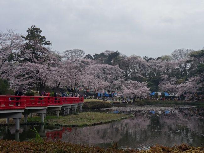 桜満開の便りを聞き、お花見ができる場所を探して行ってみました。<br />前の夜が雨だったからか、そこまで混んでおらず良かったです。