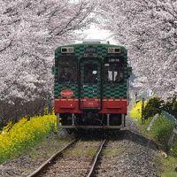 菜の花畑と桜並木を走る真岡鐡道 2016(栃木)