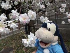 グーちゃん、目黒川の桜を見に行く!(グー散歩/サクラ・サク・・・。東大入学!編)