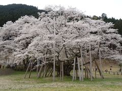 淡墨桜・白川郷・高山観光バスツアー(04) 根尾谷の淡墨桜 上巻。