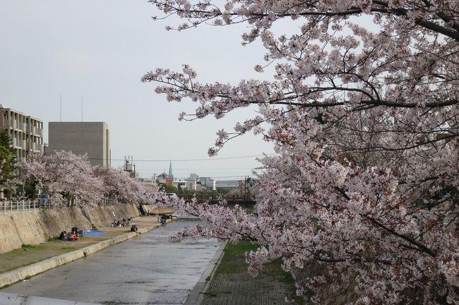 芦屋川の桜<br />昨日の近畿地方の雨と風はひどかった!!<br />きっともう桜は散ってしまっただろうな〜〜〜と思いつつ。<br />芦屋に少し御用を作り,芦屋川沿いの桜も楽しめますようにと願いがつつ足を延ばしてみました^−^)<br /><br />なんとなんと私のためにしっかり桜は満開時を過ぎながらも美しく待っていてくれました^0^<br />