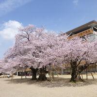 満開の桜がみたいと土浦へ