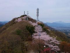 高崎市 吉井町 牛伏山自然公園に咲く 桜たち。