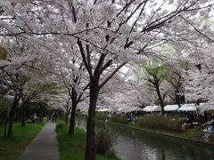 2016年4月 伏見の水辺に桜舞う 宇治川派流で開催された第十回桃山語り部の道 桜まつり