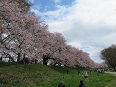 京都の桜(背割りの堤 毘沙門堂 平等院 伏見稲荷 )