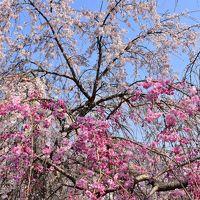 1万本桜と歴史・文化の香る真岡路の街歩き(栃木)