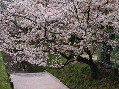 京都を歩く(237)  哲学の道 川面をピンクに染める花筏