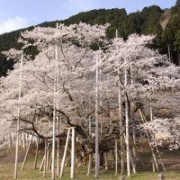 根尾谷の淡墨桜を訪ねて1泊2日の旅 4−3 淡墨桜 編