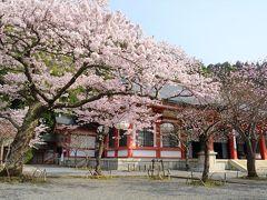 京都を歩く(238) 鞍馬寺の雲珠桜