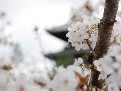 2016御室桜♪