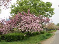 桜を追い駆けて、大阪造幣局通り抜け、最終日なのか見物人は多かったです。「前編」