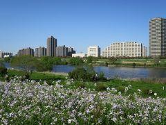 多摩川散歩   白いハマダイコンを追いかけて