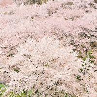 """2016年 母を伴い温泉旅行 母に見せたい """"みちのくの桜""""  2 桜色の雲海に(*゚◯゚*) 桜坂に(*^▽^*) 岳温泉と二本松城   桜・桜を追いかけて(^□^)"""