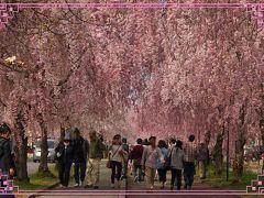 千本の・・・しだれ桜の並木道 ★日中線記念自転車歩行者道(国鉄日中線跡)★喜多方★