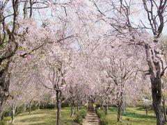 <秩父・小鹿野花散歩・1>しだれ桜の里「三山久月・光西寺の名櫻」 絶景!ピンクの里山