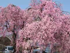 2016春、信州の桜と城巡り(1/28):4月15日(1):春日城跡(1):八重紅枝垂、染井吉野、三の丸橋