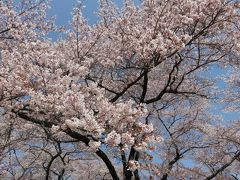 2016春、信州の桜と城巡り(2/28):4月15日(2):春日城跡(2):染井吉野、空堀、本丸跡