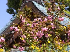 京都を歩く(240) 春を彩る花々 松尾大社・梅宮大社
