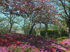松山市街地随一の絶景地はツツジの絨毯と桜がまだ見頃