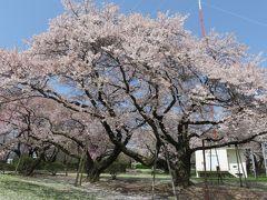 2016春、信州の桜と城巡り(3/28):4月15日(3):春日城跡の桜(3):染井吉野、小彼岸桜