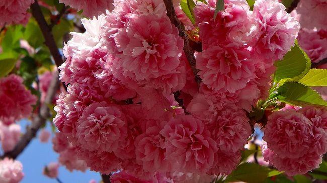上巻から続きです。<br /><br />写真は、松前琴糸桜と云う品種の桜です。