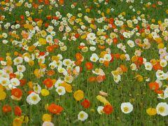 春の「国営昭和記念公園」♪ Vol1 ポピーの花畑♪