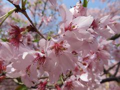2016春、信州の桜と城巡り(6/28):4月15日(6):高遠城址(2):小彼岸桜、高遠閣、空堀、二の丸跡