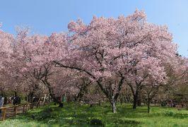 2016春、信州の桜と城巡り(9/28):4月15日(9):高遠城址(5):小彼岸桜、南アルプス眺望、獅子舞、新城神社