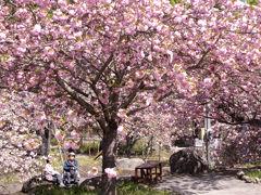 「不動尊霊山・一心寺」のぼたん桜
