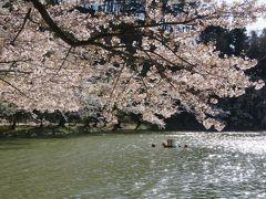 2016春、信州の桜と城巡り(12/28):4月15日(12):臥龍公園(2):龍ヶ池、染井吉野、八重紅枝垂、ボートとカルガモ