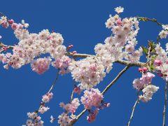 2016春、信州の桜と城巡り(13/28):4月15日(13):臥龍公園(3):龍ヶ池、染井吉野、八重紅枝垂、猿回し