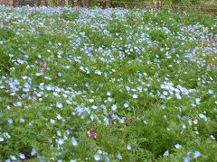 春の「国営昭和記念公園」♪ Vol3♪ 青いネモフィラ畑♪黄色の菜の花畑♪