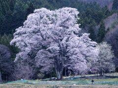 千鳥別尺の山桜