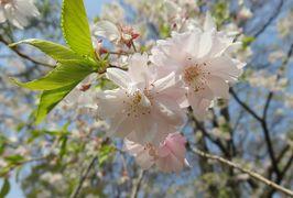 2016春、信州の桜と城巡り(19/28):4月16日(5):上田城址公園(4):上田城址、西櫓、真田神社、八重紅枝垂