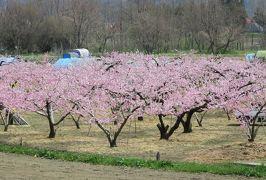2016春、信州の桜と城巡り(21/28):4月16日(7):川中島古戦場(1):散り終えた染井吉野、満開の桃の花、佐久間象山像