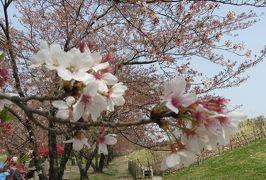 2016春、信州の桜と城巡り(22/28):4月16日(8):川中島古戦場(2):散り終えた染井吉野、満開の桃の花