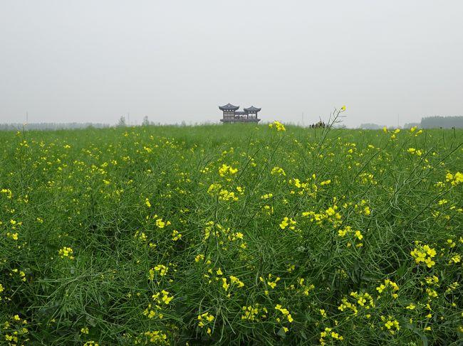 バスで行く泰州・興化の菜の花畑