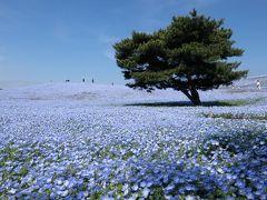 《東京から日帰り》#33 茨城県 ひたち海浜公園と偕楽園で花づくし!+大洗