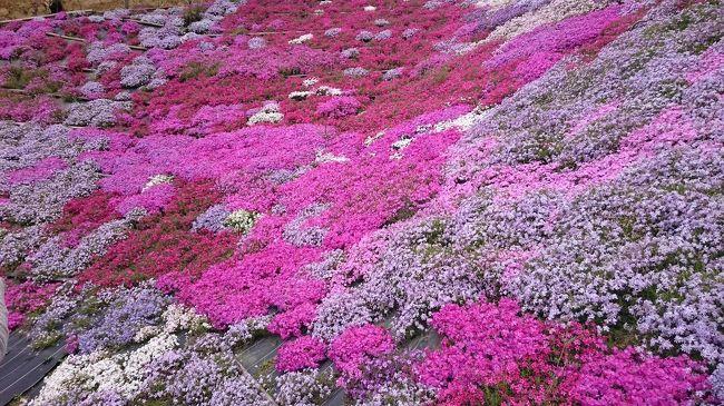広島の芝桜が綺麗で美しい花畑