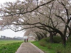 2016春、奥羽の桜巡り(2/38):4月22日(2):北上展勝地(2):北上川、古木の染井吉野、鯉のぼり、つつじ、水仙