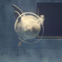 父の誕生日のお祝いで、1泊2日の島根旅<3-1> ~しまね海洋館アクアス・シロイルカのミラクルリングを見よう♪~
