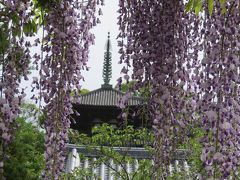 野山の花を巡る「當麻寺・牡丹」